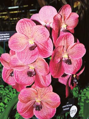 zimmer orchideen neue vielfalt braucht richtige pflege. Black Bedroom Furniture Sets. Home Design Ideas
